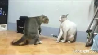 Cat dance on zing zing zingat