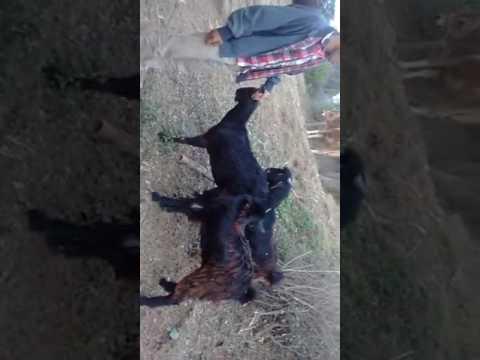 Xxx Mp4 Prabhat Thakur Goat To Goat Fuck 3gp Sex