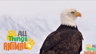 BALD EAGLE: Animals for children. Kids videos. Kindergarten   Preschool learning