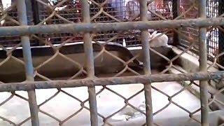Snake Vs Rabbit lip kiss (সাপ এবং  খরগোশ  ) Bangladesh Zoo 15Feb2016
