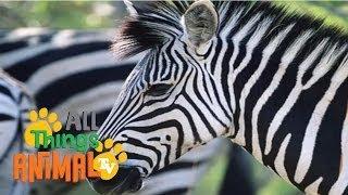 ZEBRA: Animals for children. Kids videos. Kindergarten | Preschool learning