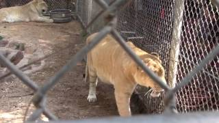 Watch ligers use a motion activated water feature built by Fort Payne Middle School Robotics Team