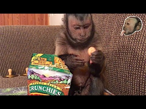 Xxx Mp4 Capuchin Monkey Tells You How Much He LOVES His Snack 3gp Sex