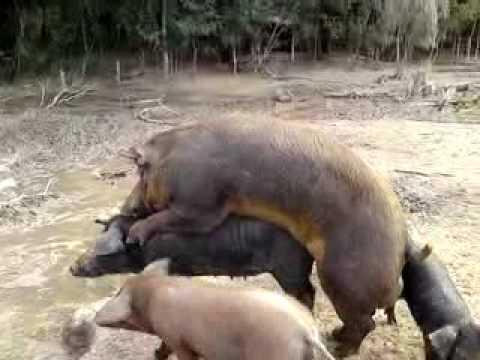 tres porquinhos