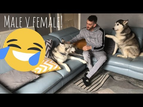 Xxx Mp4 The Funny Differences Between Male And Female Huskies 3gp Sex