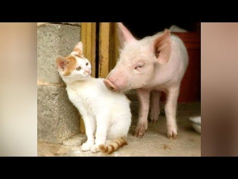 Best of FARM ANIMAL videos You ll LAUGH FOR SURE