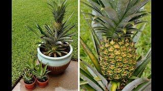 How to grow a pineapple plant From pineapple | अनानास से अनानास कैसे उगाये | gardening hacks