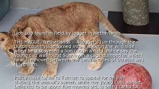 Lion cub found in field by jogger in Netherlands