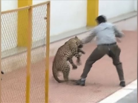 Raw: Leopard Goes on the Attack in Indian School