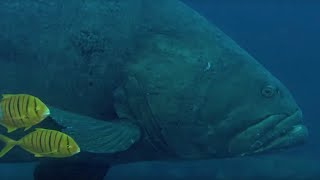Deadly Predators of the Reef: the Queensland Grouper and the Sea Snake   BBC Earth