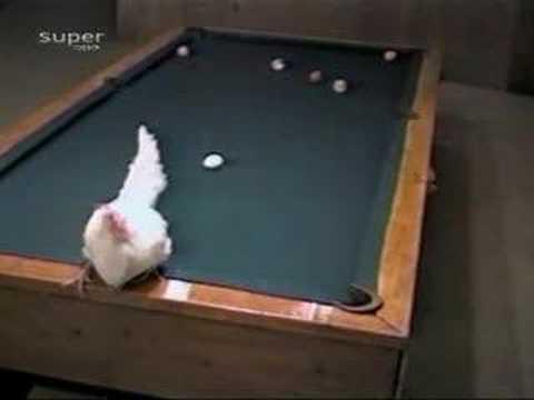 Galinha bota ovo e todas as bolas na cassapa
