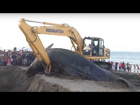 Xxx Mp4 Ikan Paus Yang Terdampar Di Ds Ujung Kareung Aceh Besar Di Kubur 14 11 17 3gp Sex