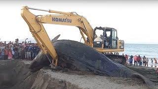 Ikan Paus yang terdampar di ds. Ujung Kareung Aceh Besar di kubur 14/11/17 .
