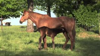 Mare and Foal with the Young Horse Feeding from the Mothers Nutritious and Rich Healthy Horses Milk