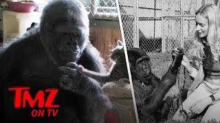 Koko The Gorilla Passed Away | TMZ TV