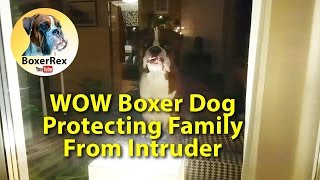 WOW Boxer Dog Protecting Family From Intruder 😬