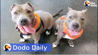 Adopted Pit Bulls Found Neglected Reunite | Best Animal Videos: The Dodo Daily