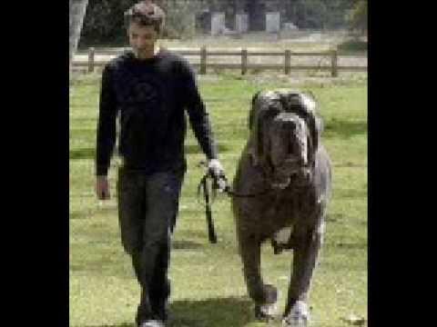 The World's Biggest Dog!