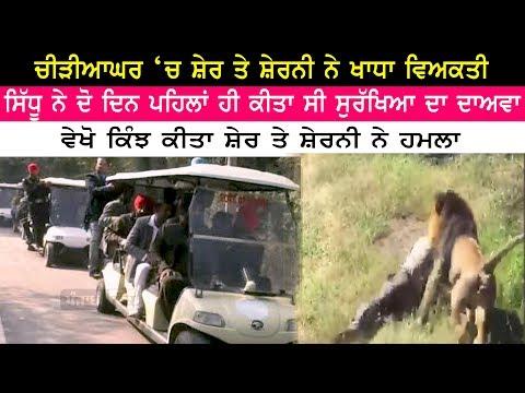 Xxx Mp4 ਸ਼ੇਰ ਤੇ ਸ਼ੇਰਨੀ ਨੇ ਖਾਧਾ ਵਿਅਕਤੀ Chhatbeerh Zoo Lion Incident Man With Lion 3gp Sex