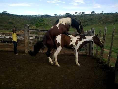 Cobertura cavalos pampa Haras J.PIRES