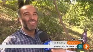 Iran Walnut harvest, Minoo-Dasht county برداشت گردو شهرستان مينودشت ايران