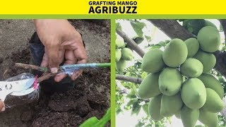 How to Graft  Mango Trees