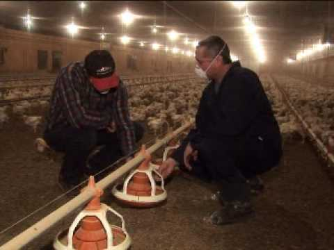 Bio security on Canadian Chicken Farms Video