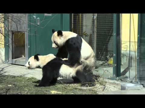 Die Paarung unserer Pandas