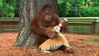 Orangutan alimentando y cuidando cachorros de tigre