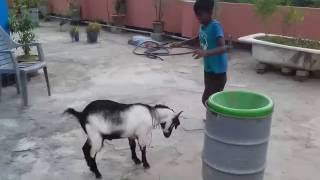 Download Our Korbanir Chagol is Purai Pagol!! 3Gp Mp4