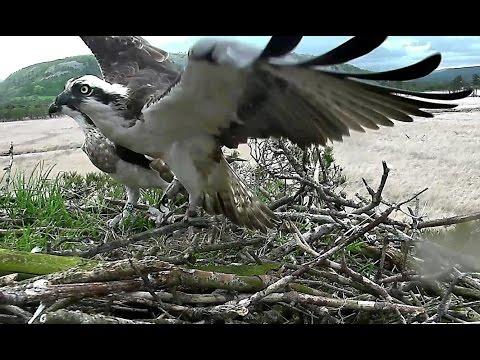 Osprey nest cam footage 4, Foulshaw Moss Nature Reserve