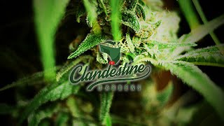 Clandestine Garden I502 - [LED-HPS Gro Beds]