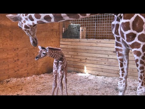 April the Giraffe and her baby Behind the scenes