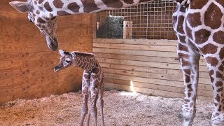 April the Giraffe and her baby: Behind the scenes
