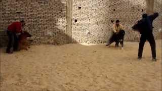 تدريب كلاب فى مصر  CESAR & SULTAN