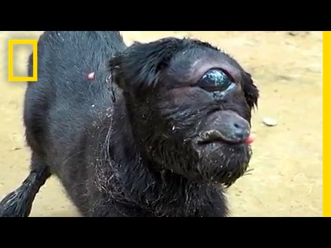 Cyclops Goat Born in India National Geographic