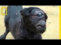 cyclops Goat Born In India | National Geographic