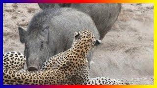 Wild Pig Attacks Lion Tiger Jaguar Dogs hunting Compilation Videos 2017