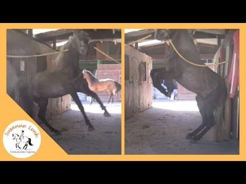 Observación comportamiento caballo Semental lusitano peligroso comportamiento de frustración
