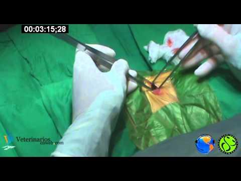 Ovariohisterectomia en canino a travez de un abordaje por el flanco.