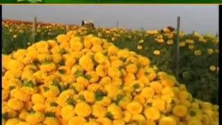 ऐसे कीजिए गेंदा फूल की वैज्ञानिक खेती