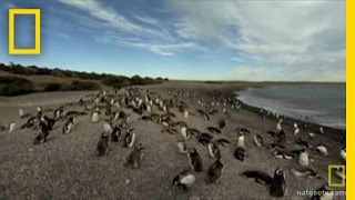 Penguins Cutely Count Selves | National Geographic