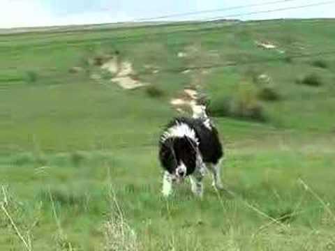Karakachan Dog