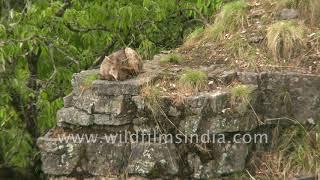 Sleepy Goral - wild goat of the Himalaya - from wildfilmsindia Himalayan cottage