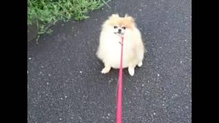 【ポメラニアン】お散歩拒否中(ビビさん)