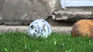 Lulu i Bubu - 10.04.2016 (świnki morskie)