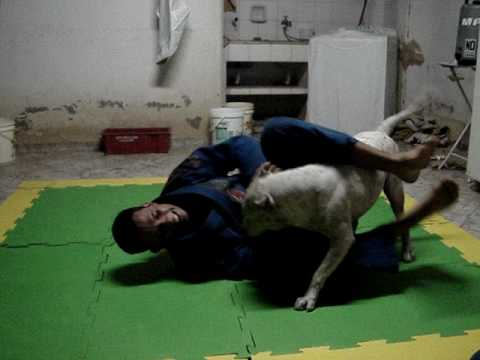 luta com pit bull