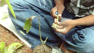 Training the Farmers on Grafting techniques