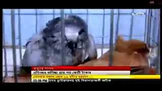 Pigeon Rearing As a Business in Bangladesh - SA TV's Report
