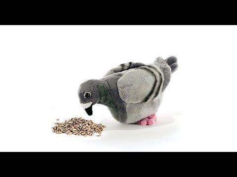 Xxx Mp4 কবুতরের বাচ্চাকে তাড়াতাড়ি নিজে খাবার খাওয়া শেখানোর উপায় Pigeon Baby Care 3gp Sex